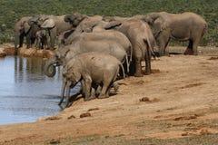 Troupeau d'éléphant ayant une boisson Image stock