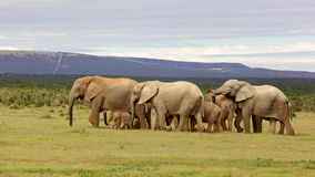 Troupeau d'éléphant d'élevage Photo libre de droits
