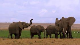 troupeau d'éléphant d'amboseli Photos stock
