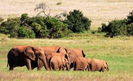 Troupeau d'éléphant en Afrique du Sud Images stock
