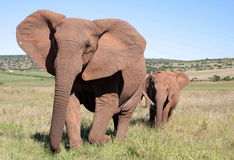 Troupeau d'éléphant en Afrique du Sud Photographie stock