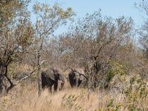 Troupeau d'éléphant en parc national de Kruger photo stock