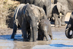 Troupeau d'éléphant jouant dans l'eau boueuse avec le sort d'amusement Photo stock