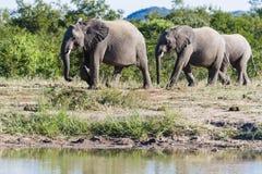 Troupeau d'éléphant marchant entre un abreuvoir et les buissons dans le parc photographie stock