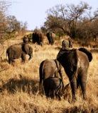 Troupeau d'éléphant marchant loin Images libres de droits