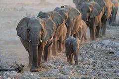 Troupeau d'éléphant pendant la saison sèche Image stock