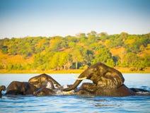Troupeau d'éléphant traversant la rivière de Chobe Photos libres de droits