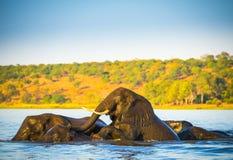 Troupeau d'éléphant traversant la rivière de Chobe Photographie stock libre de droits