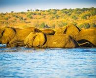 Troupeau d'éléphant traversant la rivière de Chobe Images libres de droits