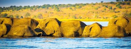 Troupeau d'éléphant traversant la rivière de Chobe Image libre de droits
