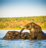 Troupeau d'éléphant traversant la rivière de Chobe Photo stock