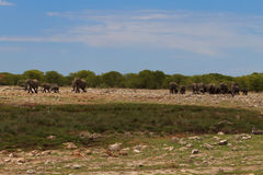 Troupeau d'éléphants Photos libres de droits