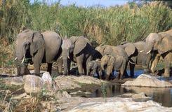 Troupeau d'éléphants africains Photographie stock libre de droits