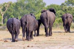 Troupeau d'éléphants africains, au point d'eau en parc national de Hwange, le Zimbabwe Photos stock
