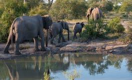 Troupeau d'éléphants africains reflétés dans l'eau à un point d'eau chez Sabi Sands Game Reserve, Afrique du Sud image libre de droits