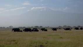 Troupeau d'éléphants africains sur la plaine avec le fond d'acacias du mont Kilimandjaro banque de vidéos