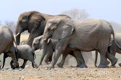 Troupeau d'éléphants dans la casserole d'Etosha - Namibie photographie stock libre de droits