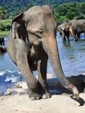 Troupeau d'éléphants prenant le bain en rivière rugueuse le jour ensoleillé Image libre de droits