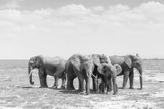 Troupeau d'éléphants sauvages en parc national d'Amboseli, Kemya Photographie stock