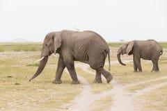 Troupeau d'éléphants sauvages en parc national d'Amboseli, Kenya Photo stock