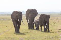 Troupeau d'éléphants sauvages en parc national d'Amboseli, Kenya Photographie stock