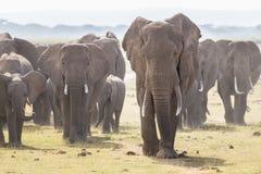 Troupeau d'éléphants sauvages en parc national d'Amboseli, Kenya Image libre de droits