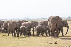 Troupeau d'éléphants sauvages en parc national d'Amboseli, Kenya Photographie stock libre de droits