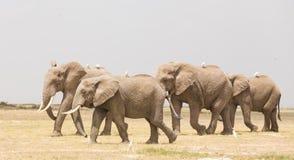 Troupeau d'éléphants sauvages en parc national d'Amboseli, Kenya Image stock