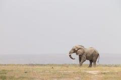 Troupeau d'éléphants sauvages en parc national d'Amboseli, Kenya Photos libres de droits