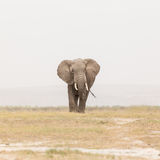Troupeau d'éléphants sauvages en parc national d'Amboseli, Kenya Photo libre de droits