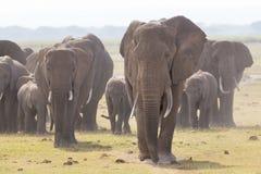 Troupeau d'éléphants sauvages en parc national d'Amboseli, Kenya Photos stock