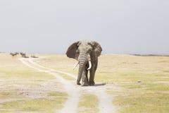 Troupeau d'éléphants sauvages en parc national d'Amboseli, Kenya Images stock