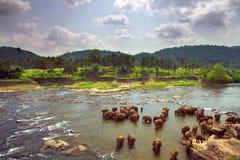 Troupeau d'éléphants se baignant Photographie stock