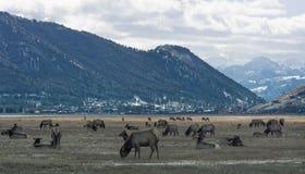 Troupeau d'élans chez Jackson Hole au Wyoming Photo libre de droits