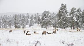 Troupeau d'élans dans un pré de montagne en hiver Images libres de droits
