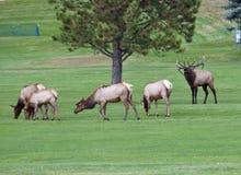 Troupeau d'élans sur le terrain de golf Images stock