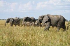 Troupeau d'élevage d'éléphant Image libre de droits