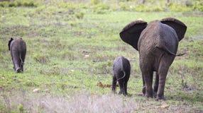 Troupeau d'élevage d'éléphant marchant et mangeant sur l'herbe courte Photos stock