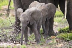 Troupeau d'élevage d'éléphant marchant et mangeant sur l'herbe courte Image stock