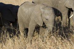 Troupeau d'élevage d'éléphant marchant mangeant dans la longue herbe brune Images stock