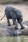 Troupeau d'élevage d'eau potable d'éléphant à un petit étang Photos stock