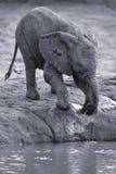 Troupeau d'élevage d'eau potable d'éléphant à un petit étang Photo stock