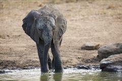 Troupeau d'élevage d'eau potable d'éléphant à un petit étang Photographie stock libre de droits