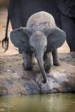 Troupeau d'élevage d'eau potable d'éléphant à un petit étang Photo libre de droits