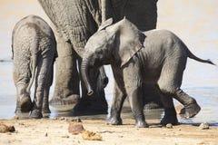 Troupeau d'élevage d'eau potable d'éléphant au petit étang Images libres de droits