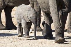 Troupeau d'élevage d'eau potable d'éléphant au petit étang Images stock