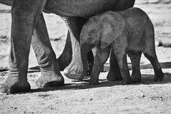 Troupeau d'élevage d'eau potable d'éléphant au petit étang Photographie stock