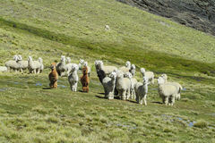 Troupeau d'Aalpacas sur la colline verte Photographie stock libre de droits