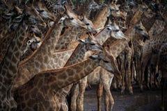 Troupeau d'Abstrack de girafe dans sauvage Photos stock