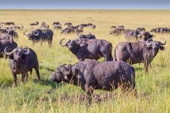 Troupeau d'Africain et de x28 ; Cape& x29 ; Buffalo dans le masai Mara Images libres de droits